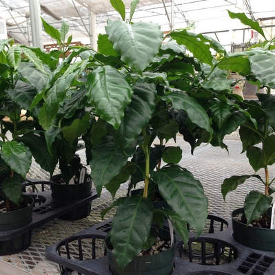 coffee-plant-small.jpg