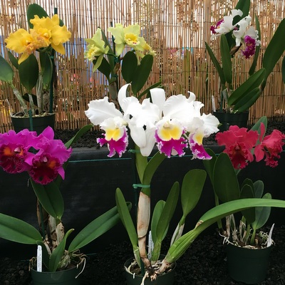 cattleya-display.jpg