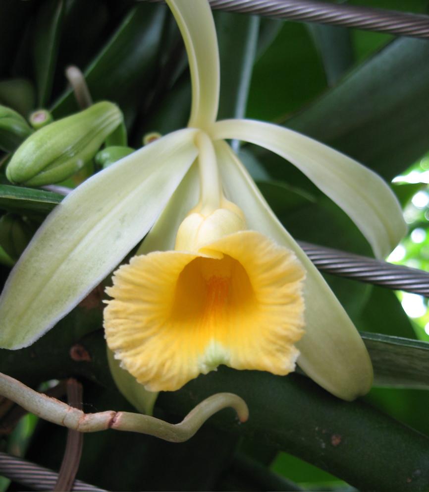 vanilla-flower.jpg